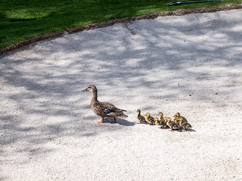 mother and baby ducks